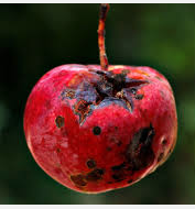 Bad apple red